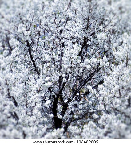 Tree branches covered in lots of white blossoms. - stock photo