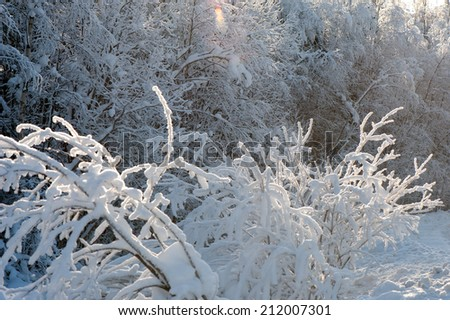 Tree branches covered with snow in sunlight in the forest - stock photo