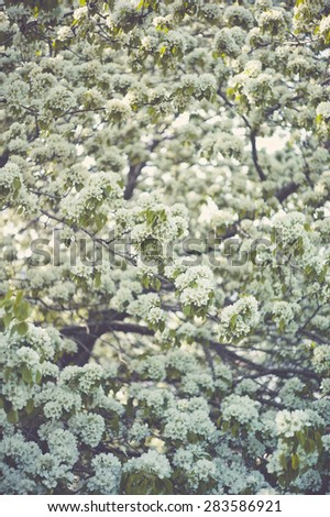 Tree brunch with white spring blossoms. Pear tree - stock photo