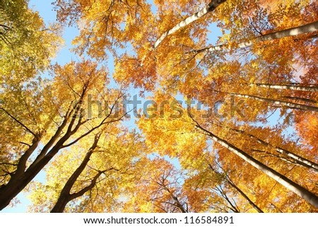 Tree canopy in autumn beech forest. - stock photo