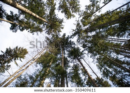 Tree canopy in beech forest - stock photo