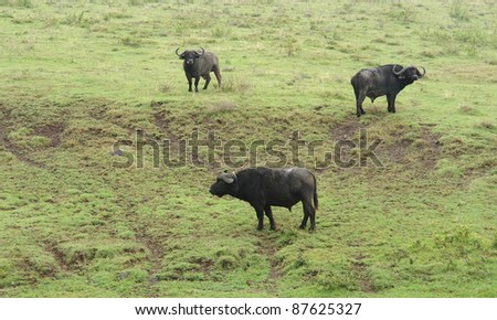 tree cape Buffalos in Tanzania (Africa)