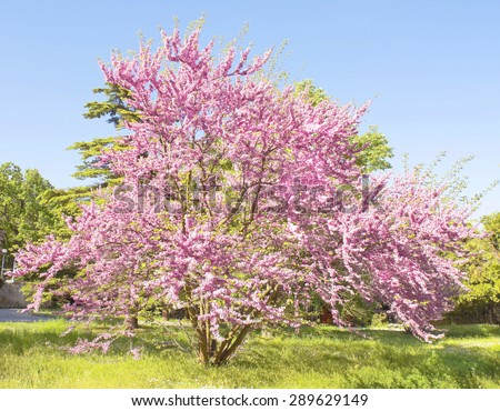 Tree Cercis European, latin name Cercis siliquastrum, in blossom in May, recorded in park of Saint Constantine and Helen resort, Bulgaria. - stock photo