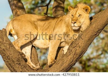 Tree climbing Lion - stock photo