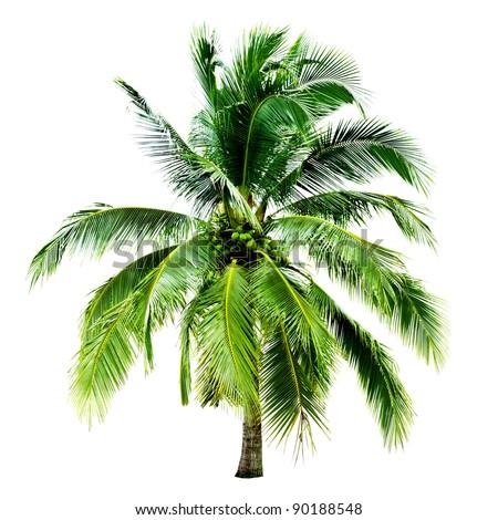 tree coconut isolated on white background - stock photo