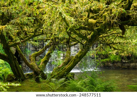 Tree covered in moss with waterfall in the background stock photo