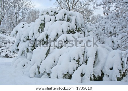 Tree covered with heavy snow - stock photo