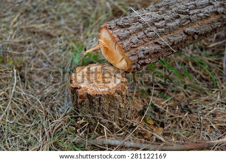tree cut by chain saw. Picture show pattern of wood when chain saw attack.