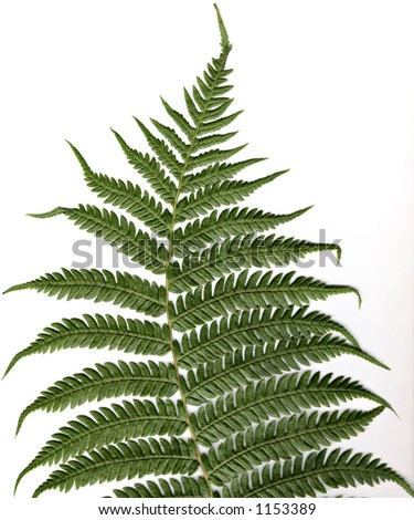 Tree fern leaf high resolution close-up - stock photo