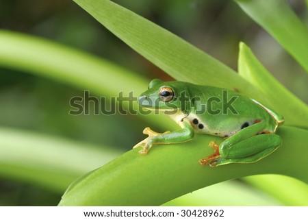 Tree Frog - stock photo