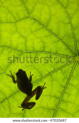 Tree frog backlit on a leaf - stock photo