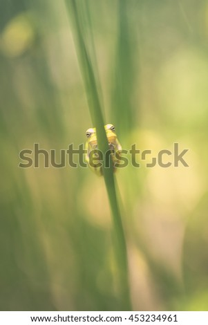 Tree frog -  common rush - front view - stock photo