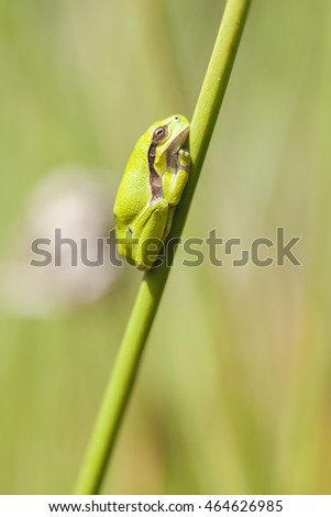 tree frog - common rush - side view