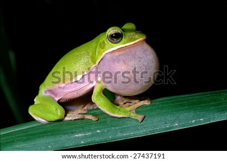 Tree frog courtship, endemic species of taiwan - stock photo