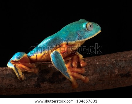 tree frog, Cruziohyla or Phyllomedusa calcarifer, climbing branch tropical  Amazon rain forest. This tropical amphibian species lives rainforest of Colombia, Costa Rica, Ecuador, Nicaragua and Panama - stock photo