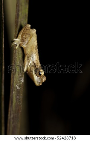 tree frog Dendropsophus minutus sitting on reed at night in a bolivian pond