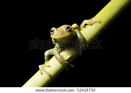 tree frog dendropsophus punctatus ready to jump in Bolivian rainforest pond amphibians are endangered species picture with copy space and black background tropical frog exotic frog jungle animal