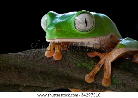 tree frog green frog tropical frog amazon animal rain forest amphibian tropical exotic species big eyes macro portrait copy space endangered species south america jungle - stock photo