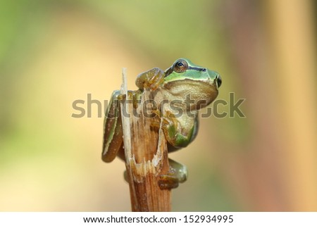 Tree frog holding on to a branch, Hyla arborea. Cuevas, Leon. - stock photo