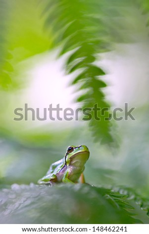 tree frog Hyla arborea hiding between green fern leafs beautiful small amphibian. This European treefrog portrait is shot with shallow DOF - stock photo