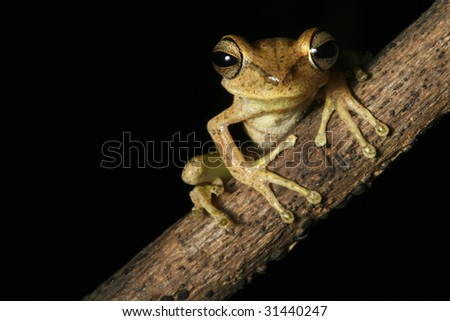 tree frog Hypsiboans faciatus on a branch in the Bolivian rain forest at night treefrog at night amphibian on black background with copy space in amazon rainforest