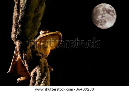 tree frog hypsiboas geograficus at night in the Bolivian jungle