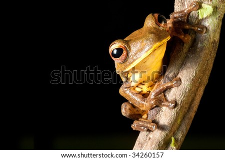 tree frog hypsiboas geograficus at night in the Brazil jungle amphibian in amazon rain forest nocturnal exotic tropical animal black background with copy space macro