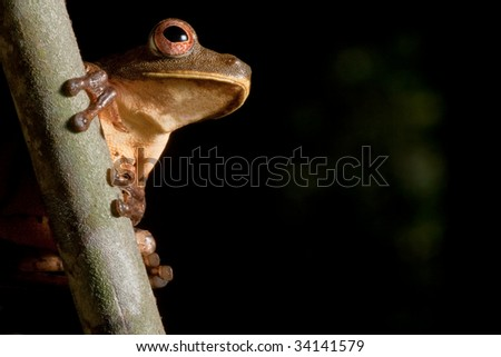 tree frog hypsiboas geograficus at night in the Brazil jungle treefrog in amazon forest tropical exotic nocturnal animal endangered amphibian on black background with copy space