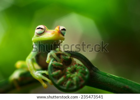 tree frog hypsiboas punctatus. A small treefrog from the Amazon rain forest. Macro of a tropical amphibian. - stock photo