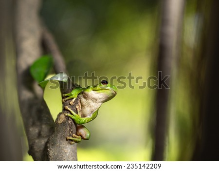 Tree frog Hypsiboas riojanus, a tropical amphibian of the Andes in Bolivia and Argentina. This tropical and exotic treefrog was found near a stream of the valley of Cochabamba.  - stock photo