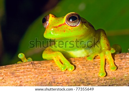 tree frog in Brazil tropical amazon rain forest beautiful night animal and endangered amphibian green frog red eyed frog Hypsiboas cinerescens exotic colorful treefrog in jungle macro - stock photo