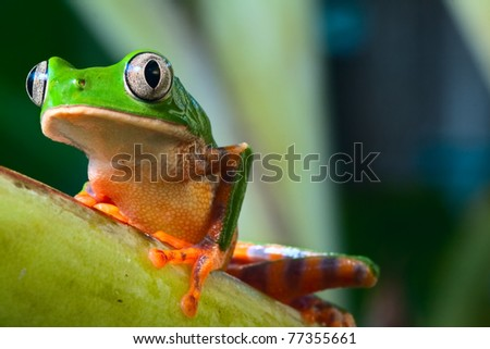 tree frog in Brazil tropical amazon rain forest beautiful night animal and endangered amphibian green frog phylomedusa tomopterna jungle treefrog with bright vivid colors background with copy space