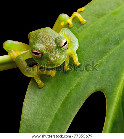 tree frog in Brazil tropical amazon rain forest beautiful night animal and endangered amphibian green frog sitting on green leaf nice background with copy space small glass frog macro - stock photo
