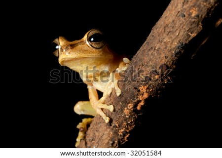 Tree frog in the Brazil rainforest night amazon forest rain forest amphibian beautiful exotic tropical nocturnal animal with big eyes sitting on diagonal branch blakc background with copy space