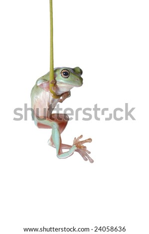 Tree Frog Litoria caerulea hang on Branch - stock photo