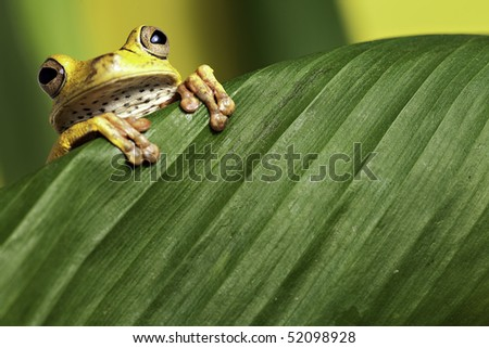 tree frog looking over green leaf amphibians are nocturnal endangered animals need nature conservation background copy space tropical amazon Bolivia rain forest - stock photo