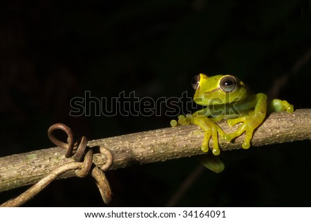 tree frog night on branch  Brazil rainforest Hypsiboas cinerescens amphibian amazon rain forest exotic frog tropical frog copy space night animal green frog nocturnal jungle species black bakcground