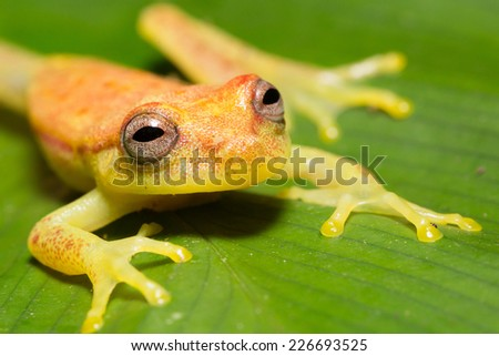 Tree frog of the amazon forest, Iquitos, peru - stock photo