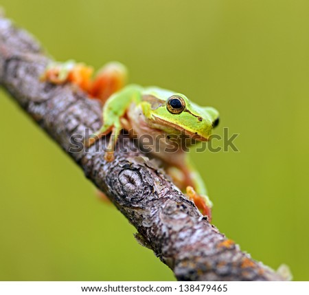 Tree frog on a branch in the spring