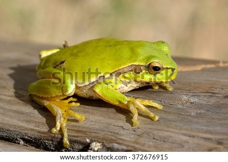 Tree frog on a log  - stock photo