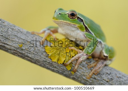 tree frog on a log with lichen - stock photo