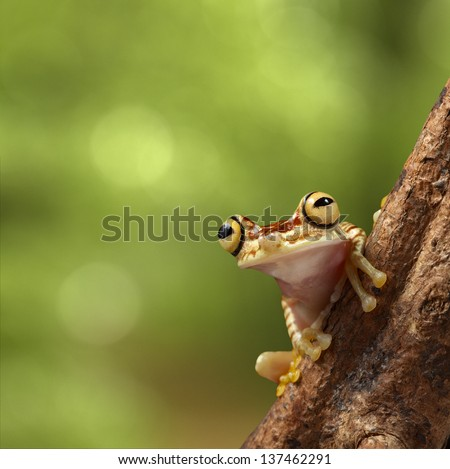 tree frog on branch in tropical jungle of Peruvian Amazon rain forest near Iquitos. Hypsiboas picturata on background with copy space. Treefrog with big eyes. - stock photo