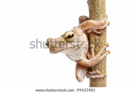 Tree frog on dry branch - stock photo