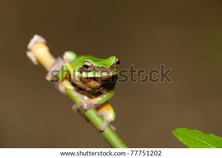 Tree frog on the leaf (Hyla chinensis) - stock photo