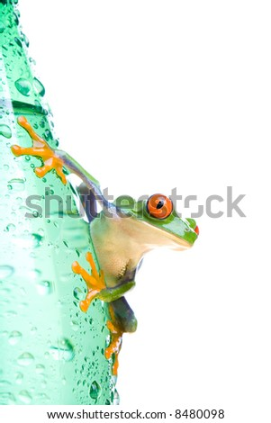tree frog on water bottle - a red-eyed tree frog (Agalychnis callidryas) closeup isolated on white