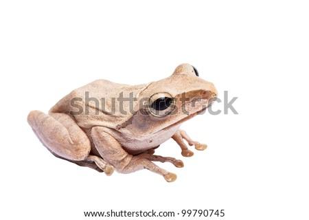 Tree frog on white background - stock photo