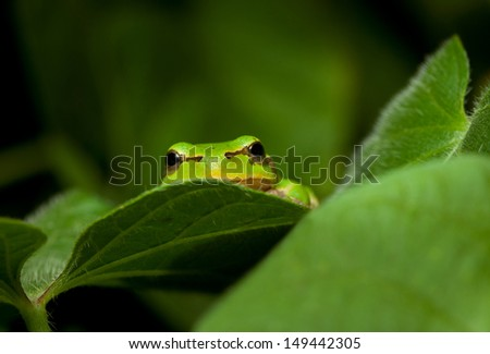 Tree frog peeking out from the leaves
