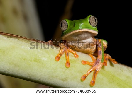 tree frog phylomedusa tomopterna at night in Bolivian jungle copy space amazon rain forest amphibian green treefrog on branch nocturnal animal with big eyes kermit nature conservation