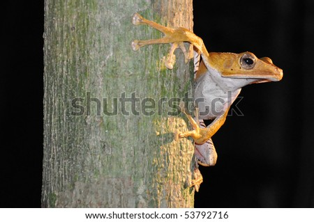 Tree Frog- Primary Rainforest Danum Valley Borneo - stock photo