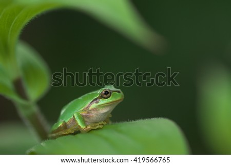 Tree frog rest in the shade of the leaves